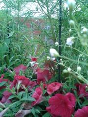 begonia,