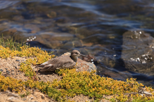 Brown willet shore bird, Tringa semipalmata, sitting on the side of a marsh