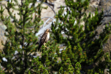Red-tailed Hawk in Yellowstone National Park in Wyoming