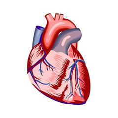 Human heart anatomy isolated on white background