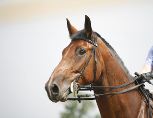 Head-shot of a show jumper horse during competition with jockey