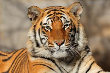 Photo sur Aluminium Tigre Portrait of a Bengal tiger (Panthera tigris bengalensis).