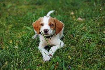 Bretone liegt im Gras