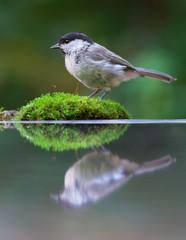 Willow tit with reflection