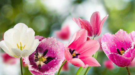 beautiful tulips on a green background