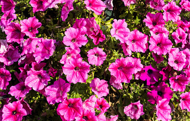 Bright pink petunias as natural background