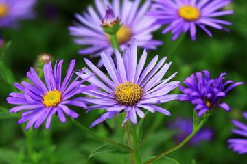 Summer Aster flowers