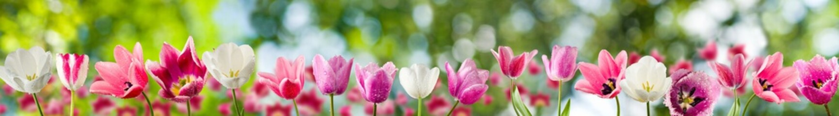 Image of tulips closeup