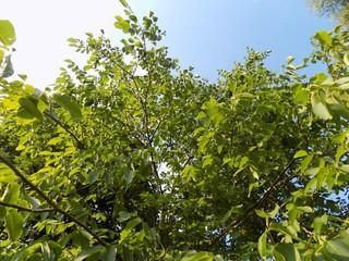 Walnut tree and sky