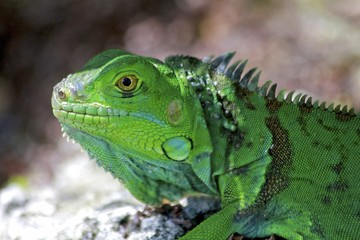Macro of a green Iguana, Florida