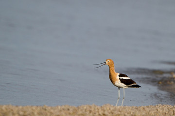 Male American Avocet in breeding plumage cries on a marshy shore