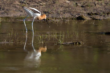 American Avocet with reflection in Alamosa National Wildlife Refuge in Colorado