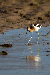 American Avocet in breeding plumage fishes in southern Colorado