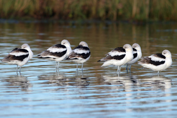 Six American Avocets in non-breeding plumage nap in ripply blue water
