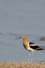 Male American Avocet in breeding plumage at the Salton Sea in southern California