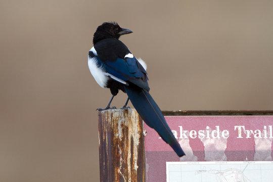 Black-billed Magpie in Antelope Island State Park in Utah