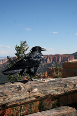 Common Raven walks along a fence in Bryce Canyon National Park in Utah