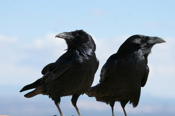 Two Common Ravens in Bryce Canyon National Park in Utah