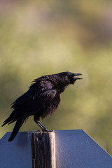 American Crow caws from atop a road sign at dawn
