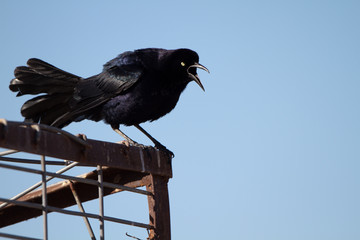 Great-tailed Grackle male sings to defend his territory in spring