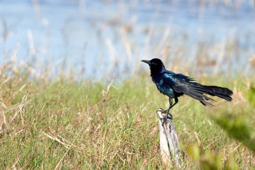 Great-tailed Grackle male in a marsh