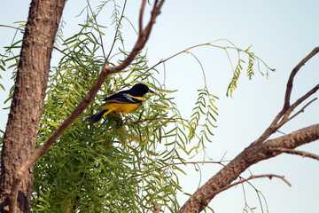 Scott's Oriole male in a mesquite tree in Palo Duro Canyon State Park in Texas