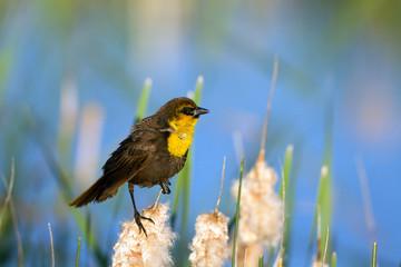 Yellow-headed Blackbird male in breeding plumage in a cattail marsh