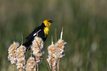 Yellow-headed Blackbird sings in a Colorado marsh in early spring