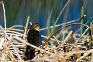 Yellow-headed Blackbird female above her nest in a marsh