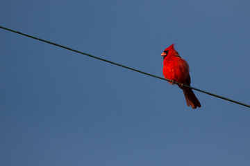 Northern Cardinal against a deep blue sky