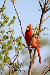 Male Northern Cardinal in a mesquite tree in the Texas Panhandle