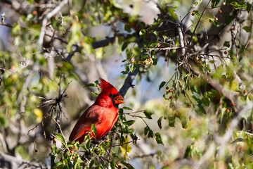 Northern Cardinal male in a southern Arizona tree