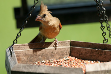 Juvenile Northern Cardinal on a seed feeder