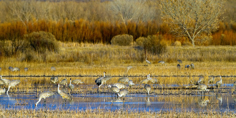Sandhill Crane flock on a golden autumn evening in Bosque del Apache National Wildlife Refuge