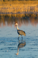 Sandhill Crane in the marsh at sunset in Bosque del Apache National Wildlife Refuge