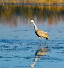 Sandhill Crane honks at sunset in Bosque del Apache National Wildlife Refuge