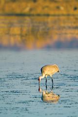 Sandhill Crane feeds at sunset in Bosque del Apache National Wildlife Refuge