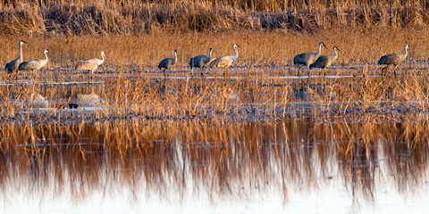 Nine Sandhill Cranes walk along the edge of a marsh in winter