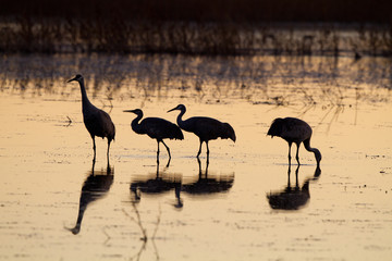 Four Sandhill Cranes silhouetted against the water at dusk