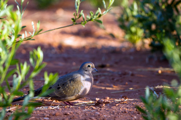 Mourning Dove on the ground at dawn