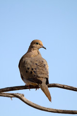 Mourning Dove on a forked branch