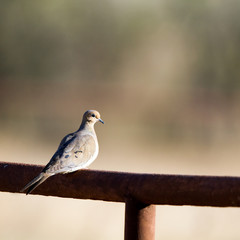 Mourning Dove on a rusty metal fence in Texas