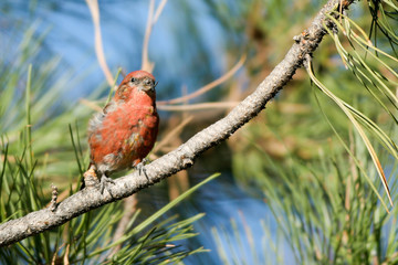 Red Crossbill male in Bryce Canyon National Park
