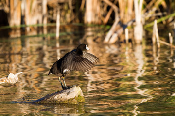 American Coot stands on a rock and flaps his wings