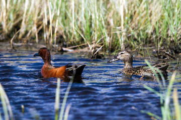 Cinnamon Teal mated pair in ripply blue water of a marsh