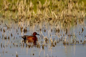 Cinnamon Teal drake preens in a Salton Sea marsh