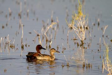 Cinnamon Teal mated pair in a Salton Sea marsh
