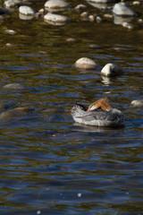 Common Merganser preens in Idaho's Salmon River