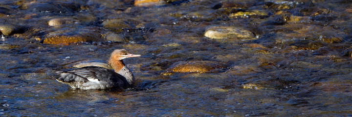 Common Merganser swims in Idaho's Salmon River