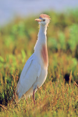 Cattle Egret male in breeding plumage and evening light